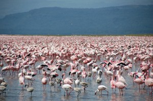 Flamants roses au lac Nakuru